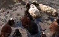 گیر کردن گله گوسفند در قیر +عکس