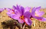 مراقبتهای لازم برای پرورش گیاه زعفران