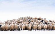 عکس: ژست دیدنی گله گوسفندها جلوی دوربین عکاسی