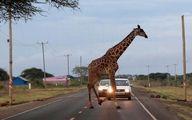 عکس: عبور یک زرافه از جاده سوژه شد