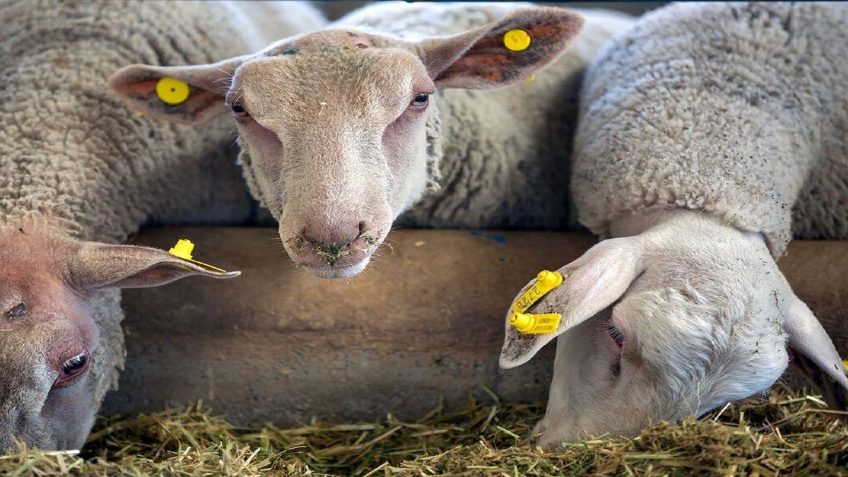 قیمت هر کیلو دام زنده ۵۳ هزار تومان/هر کیلو گوشت گوسفندی ۱۵۰ هزار تومان