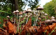 هشدار اورژانس در مورد مسمومیت با قارچ