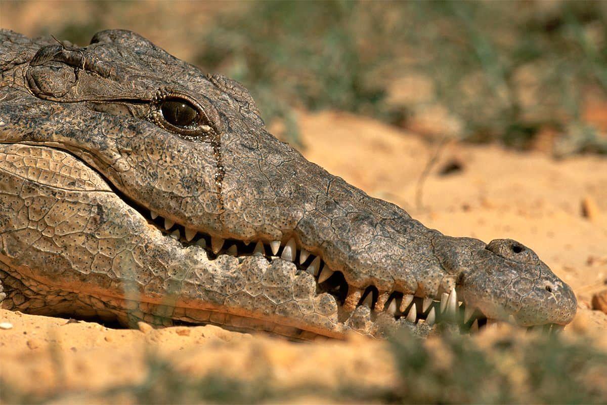 تصویری نادر از اشک تمساح