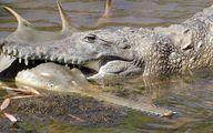 عکس: اره ماهی در دهان تمساح