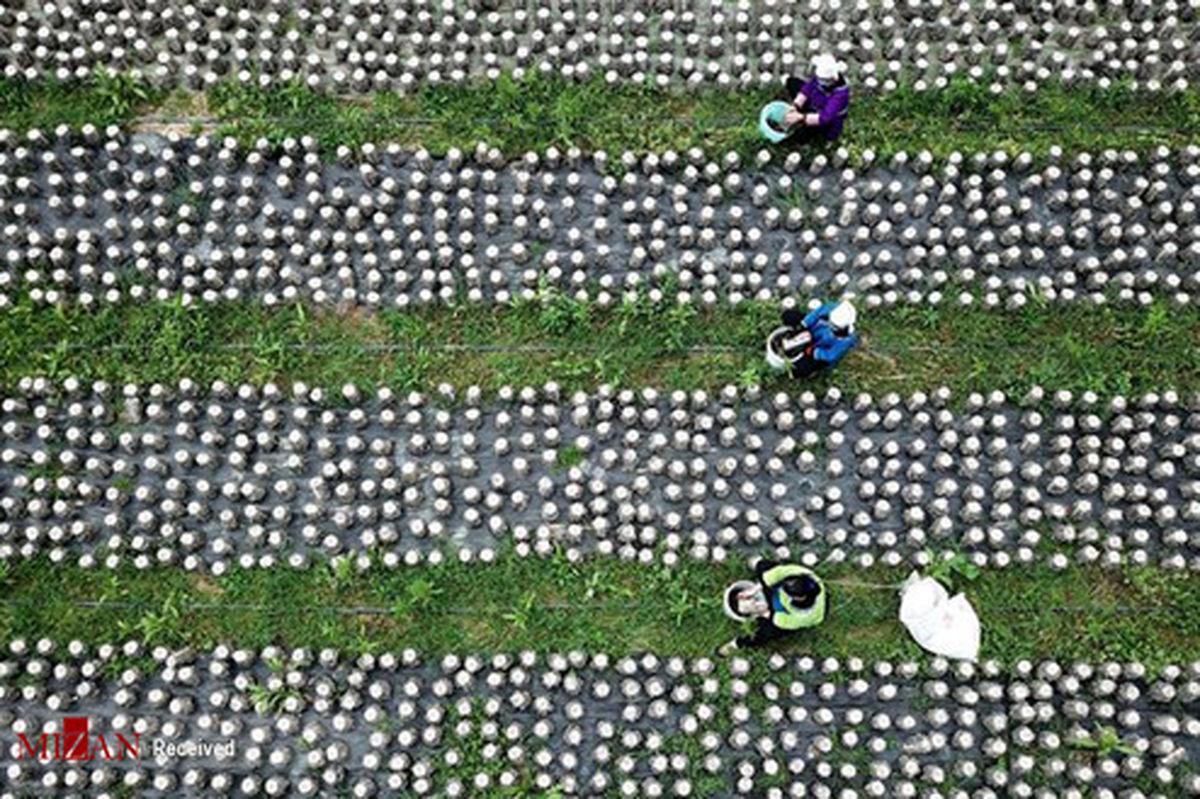 تصاویر: زمینهای کشاورزی در چین