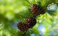 چرا نباید درخت «کاج» بکاریم؟