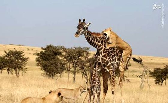 نبرد دیدنی مادر و فرزند با سلطان +عکس