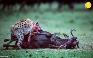 تصاویر: بیرحمی کفتار در شکار کل یالدار!