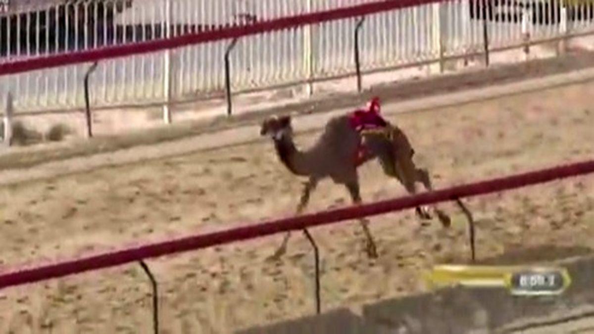 مرگ یک شتر در چند متری خط پایان! +فیلم