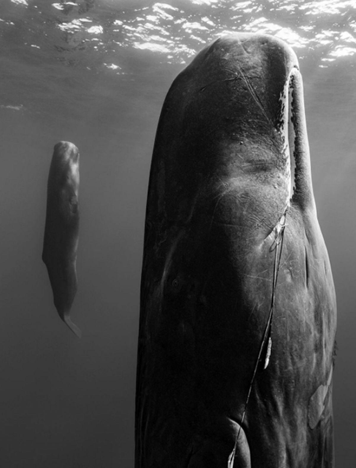 تصاویر: خواب عجیب نهنگ ها در اعماق اقیانوس