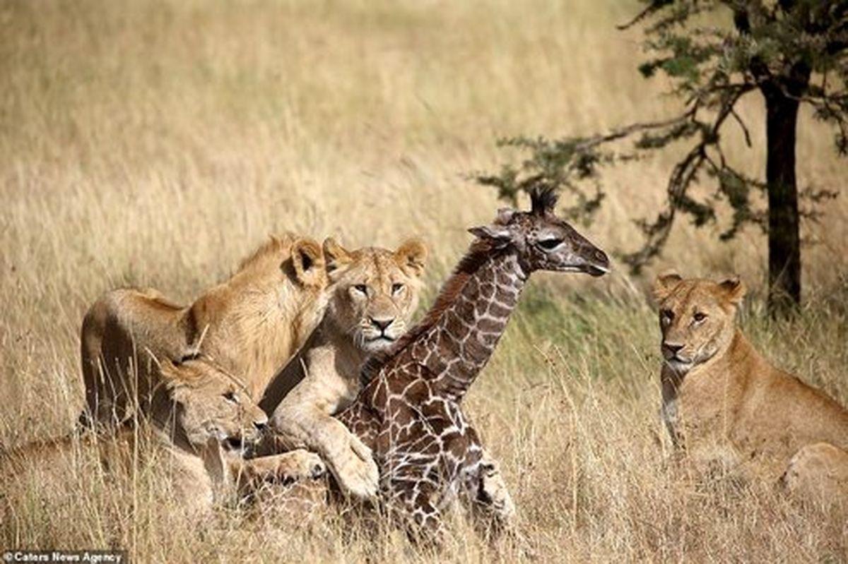 تصاویر: نبرد دیدنی زرافه برای نجات فرزندش از دست شیرها