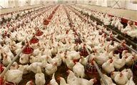 مرغداریها با ضرر تولید میکنند