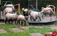 چرخ و فلک سواری گوسفندان در پارک! +عکس و فیلم