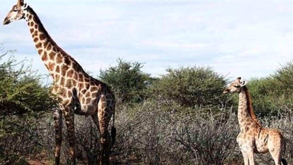 زرافههای کوتوله در افریقا سوژه شدند +عکس