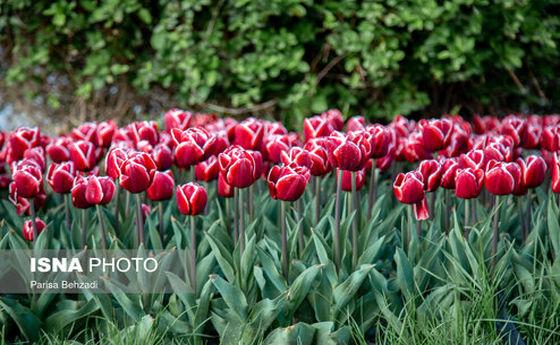 تصاویر: جشنواره گلهای لاله در اراک