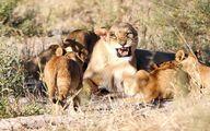 حمله شیرهای ماده به سلطان جنگل +تصاویر