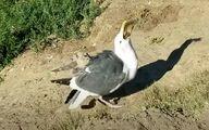 صحنه عجیب بلعیدن سنجاب توسط مرغ دریایی! +عکس و فیلم