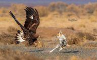 عکس: جدال عقاب طلایی و روباه بر سر غذا
