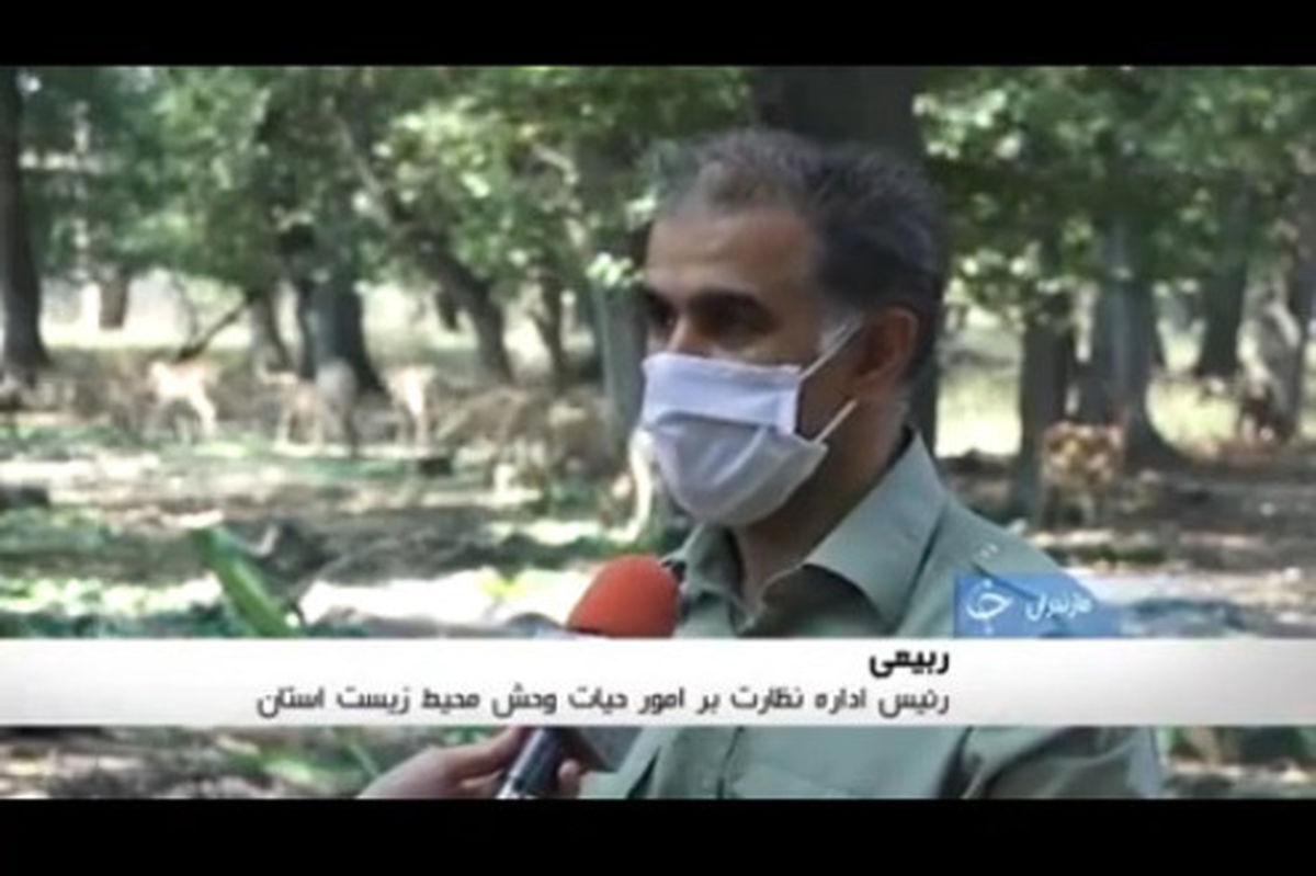تصاویر تماشایی از گوزن زرد ایرانی در دشت ناز مازندران
