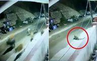 لحظه حمله پلنگ به گله گاو در مقابل پاسگاه پلیس! +فیلم