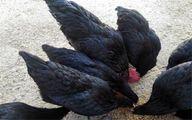 پرورش گرانترین مرغ در ترکیه که هم قیمت طلاست! +عکس
