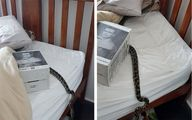 جا خوش کردن یک مار در تختخواب زن بدشانس +عکس