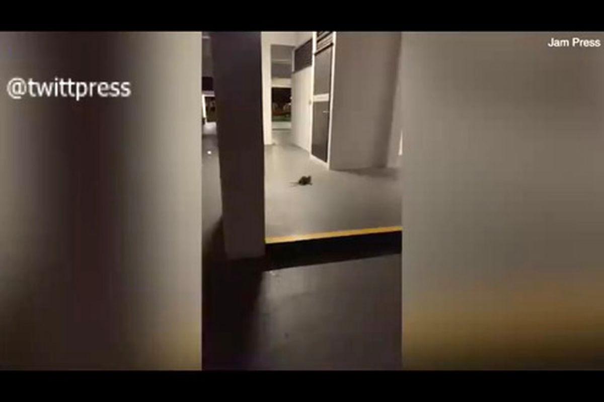 فیلم مبارزه دو موش برای ترساندن گربه در فضای مجازی پر بیننده شد