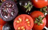 گوجه فرنگیهای بنفش در راه بازار