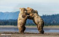 تصاویر: بازی توله خرس ها در آلاسکا