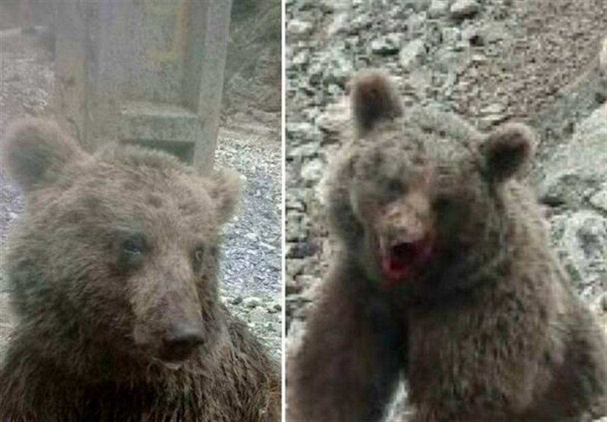 مرگ خرس زخمی مازندران در پارک پردیسان +عکس