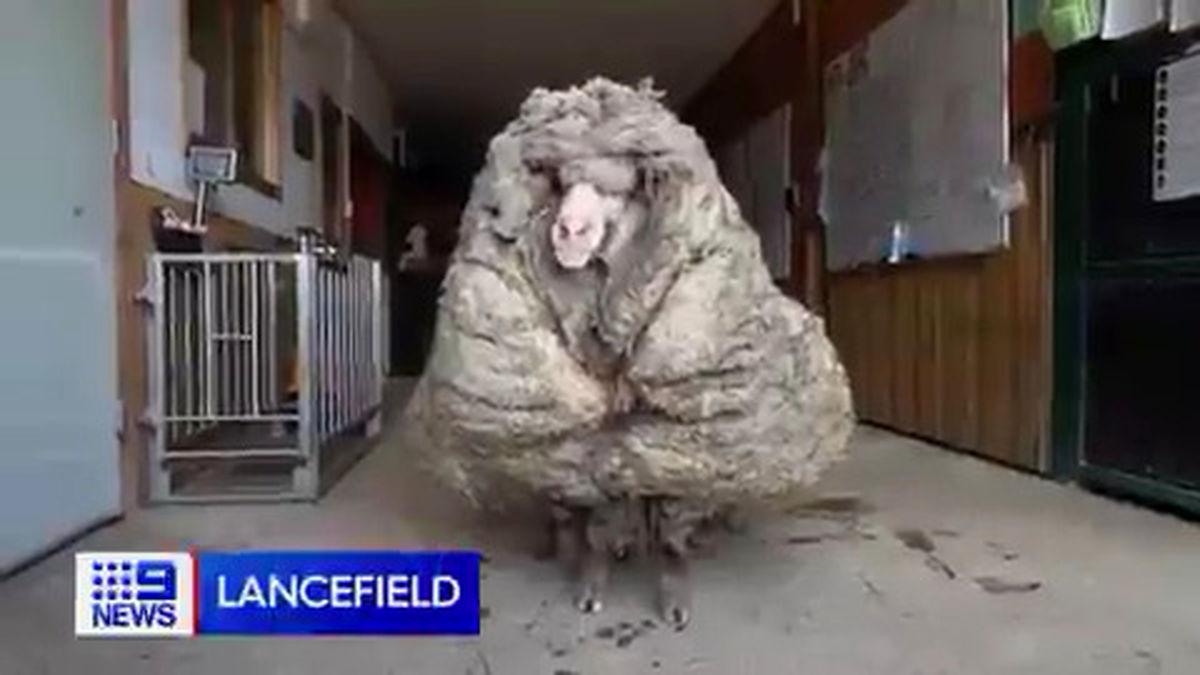 گوسفندی با پشمهای ۳۵ کیلوگرمی! +فیلم