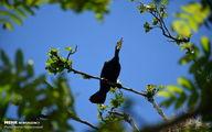 تصاویر: جوجه آوری پرندگان باکلان و حواصیل در تالاب استیل آستارا