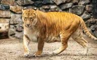 شیرببر عظیم الجثه که روزانه بیش از ۲۰ کیلو گوشت میخورد! +فیلم