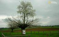 عکس: درخت دو طبقه دیده بودید!