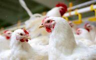 استانداری تهران: فروش مرغ بالاتر از ۲۰۴۰۰ تومان تخلف است