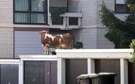 گاو فراری، سر از پشتبام یک خانه درآورد! +عکس