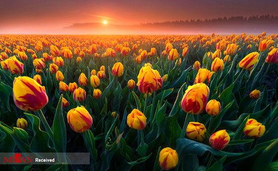 تصاویر: مزرعه گلهای لاله در هلند