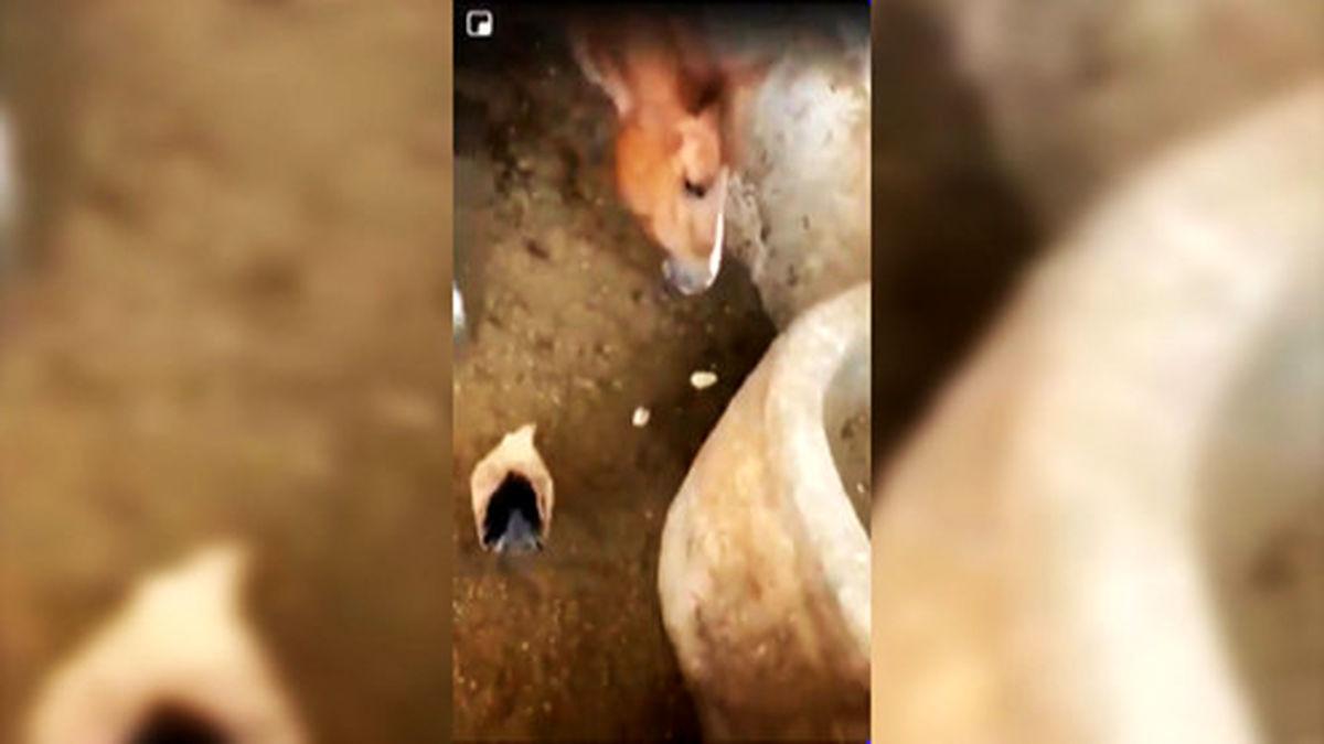 زنده زنده خوردن یک جوجه توسط اسب! +فیلم