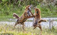 عکس دیدنی از دعوای ناگهانی دو روباه!