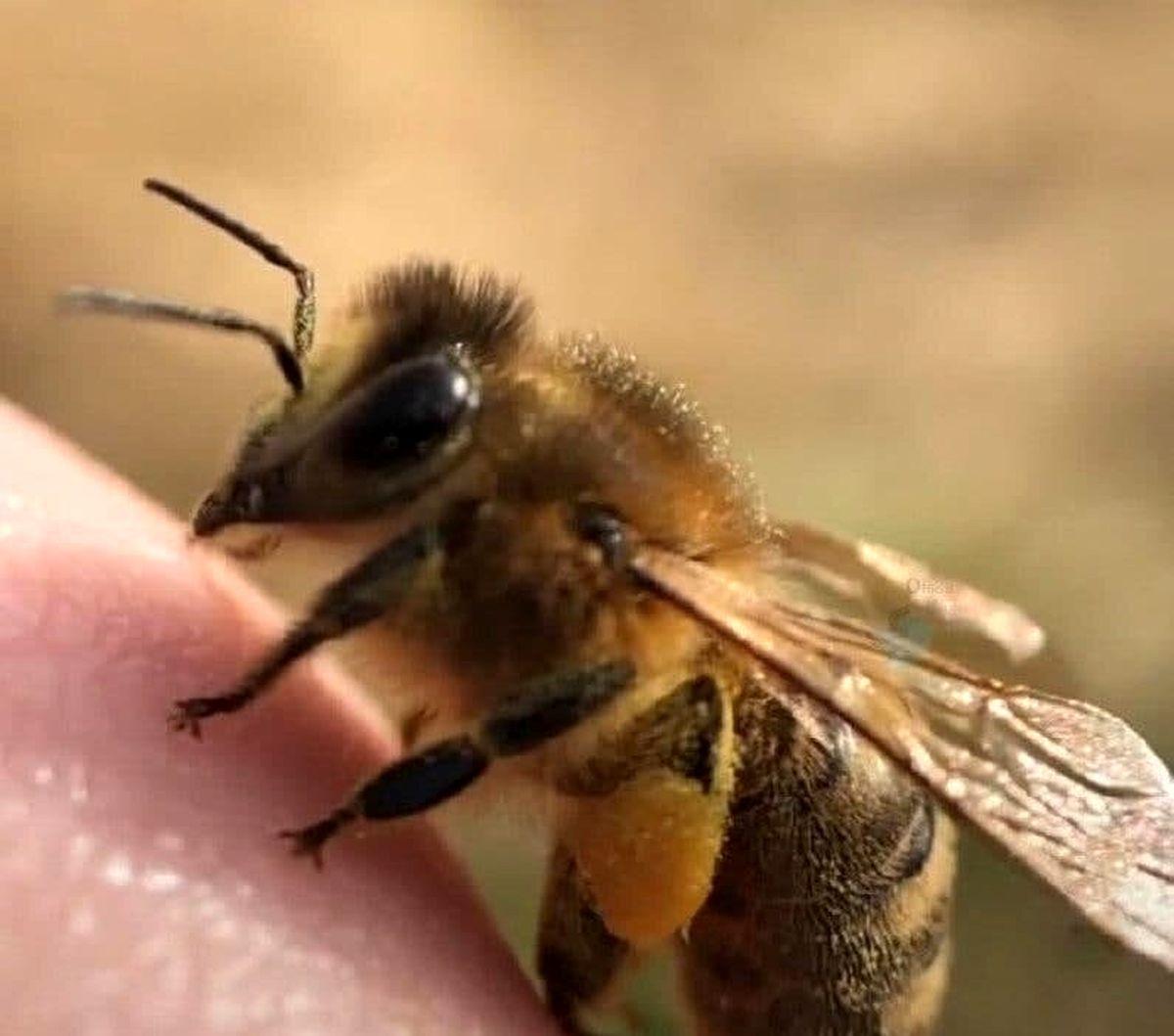 تصویر باورنکردنی از انگشتان زنبور عسل!