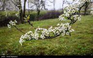 تصاویر: شکوفه های بهاری - گیلان