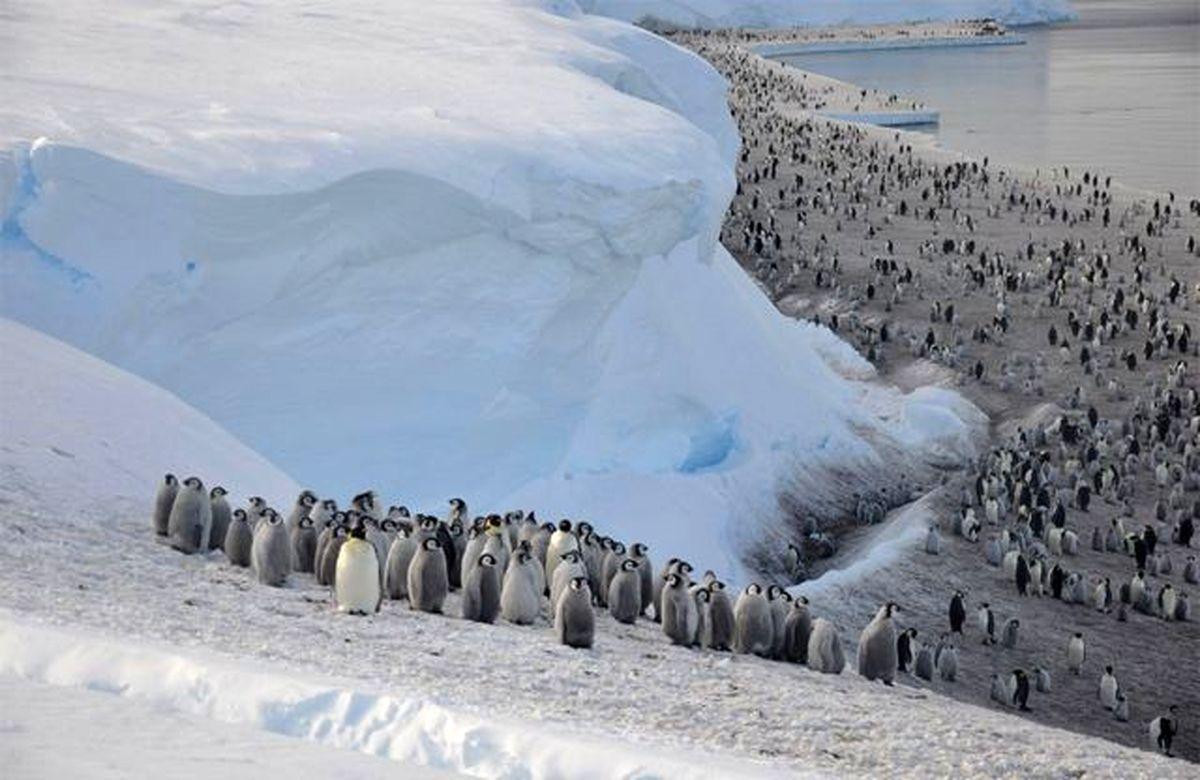 مرگ ۶۳ پنگوئن درخطر انقراض بخاطر این علت باورنکردنی!