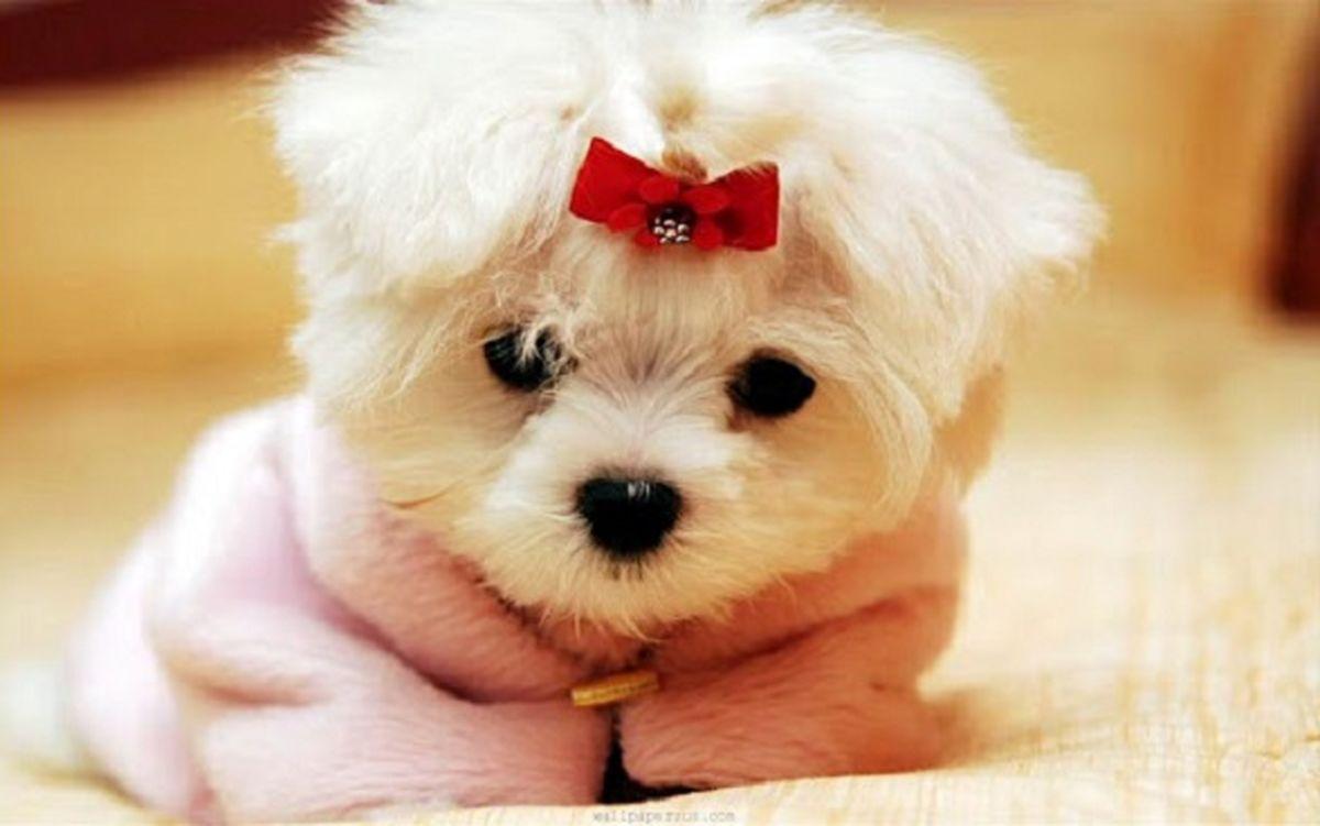 عکس بامزه از کوچک ترین سگ جهان ؛ تنها قد یک کف دست!