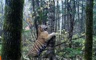 فیلم: فیلمبرداری از بزرگترین گونه ببر در دنیا